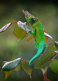 Jackson's Chameleon by BBMaui, via Flickr