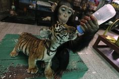 Another chimp feeding and burping her tiger child.