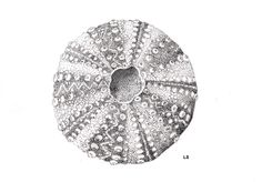 Urchin shell. Made with the stippling technique, using indian ink and a dip pen.