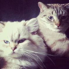 Ivana et Chamallow - #british #britishcat #britishlonghair #britishlovers #britivana #cute #cat #cats #chat #chats #catlovers #love #loof #lovely #colorpoint #colourpoint #heart #beauty #beaute #socute #cuteness #amazing #france #cattery #chatterie #kitten #kitty #fluffy #fluffycat #fluffyball #moelleux