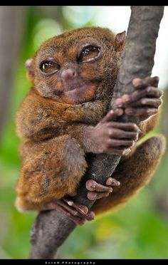 The Philippine Tarsier is a tiny animal; it measures only about 85 to 160 millimetres (3.35 to 6.30 in) in height, making it one of the smallest primates.