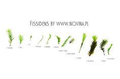 Fissidens mosses.