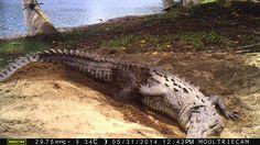 FOTO 8. Autor: Giovany Arturo Gonzáles Desales Localidad: Acapetahua, Chiapas (México) Especie: Cocodrilo (Crocodylus acutus) Título: Respondiendo a los llamados eclosionales