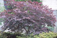 Botanical name: Cercis canadensis 'Forest Pansy'  Common name: Eastern redbud  Zones: 4 to 9  Height: 30 feet  Light: Sun, part shade  TREES AND SHRUBS