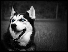 Siberian Husky by Christian1776.deviantart.com on @deviantART.  Love the blue color pop of the eyes.