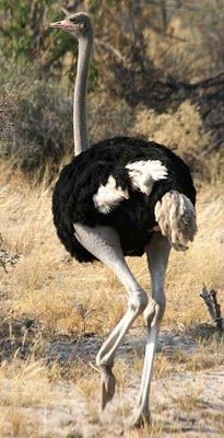 here's the Ostrich, the largest of all birds a. African Animals, African Safari, Camelus, Flightless Bird, Out Of Africa, Mundo Animal, Tier Fotos, Big Bird, Colorful Birds