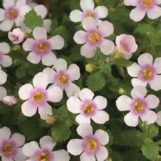 bacopa flower plants~ a sweet little flower