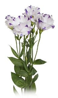 Lisianthus, doubles-white/purple variegated