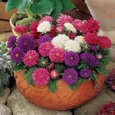Pot 'n Patio Mix Aster - Annual Flower Seeds