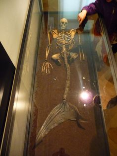 Mermaid Skeleton  -- shark spine attached to human skeleton, the change in vertebrae is obvious