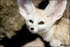Fennec fox, ZOO Olomouc ******************************************** WOLF CALENDAR FOR FREE has just been released! do not forget to download it woxys