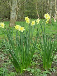 Narcissi Yellow Cheerfulness