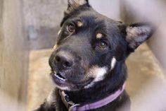 URGENT!! Out of time...Gorgeous Rotti mix, female, 1-2 years old, kennel A31, Odessa, TX Animal Control 432-368-3527 Please share, she needs out NOW!!