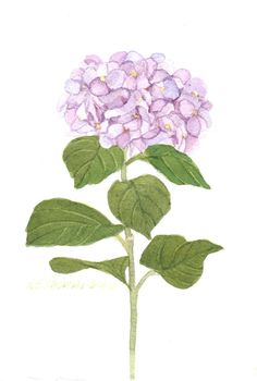 An original watercolor painting of a purple hydrangea painted by Wanda Zuchowski-Schick. It measures 5 x 7 and is shipped in an 8 x 10 matt. The painting with its brilliant color will enhance any rooms decor. Hydrangea Season, Pink Hydrangea, Hydrangeas, Watercolor Trees, Floral Watercolor, Watercolor Paintings, Purple Tattoos, Hydrangea Painting, Vintage Botanical Prints