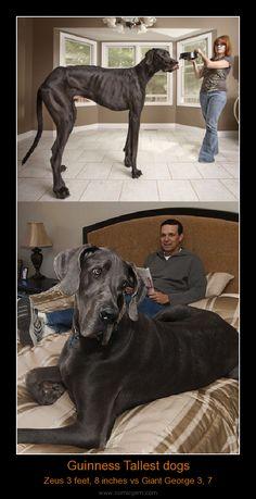 Guinness Tallest dogs
