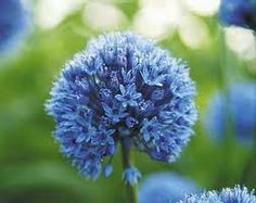 Allium Symbolizes Unity; Humility; Patience