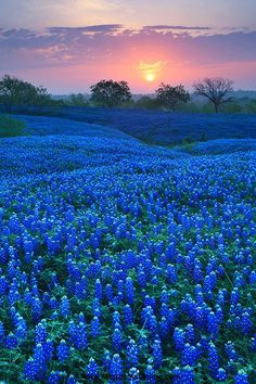 35 Amazing Places In Our Amazing World | Amazing Online Magazine - Bluebonnet Field in Ellis County, Texas