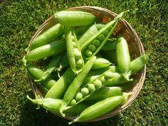 Como cultivar ervilhas. Fazer uma horta em casa nos permite semear vegetais que…