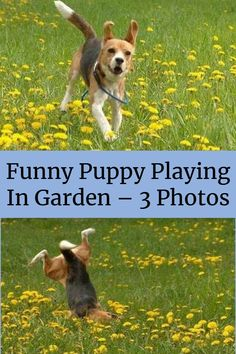 Funny Puppy Playing In Garden – 3 Photos Funny Animal Pictures, Funny Animals, Funny Dogs, Funny Memes, Puppy Play, Dog Runs, Life Memes, Corgi, Best Friends