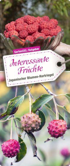 Interessante Früchte Vom Cornus Kousa Anischer Blumen Hartriegel