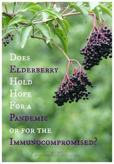 Elderberry Hold Hope For a Pandemic or for the Immunocompromised? Does Elderberry Hold Hope For a Pandemic or for the Immunocompromised? See the studies.Does Elderberry Hold Hope For a Pandemic or for the Immunocompromised? See the studies. Natural Home Remedies, Natural Healing, Herbal Remedies, Health Remedies, Natural Oil, Natural Foods, Holistic Remedies, Natural Products, Natural Beauty