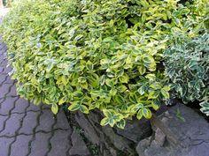 Trzmielina Fortune'a 'Emerald 'n Gold' - Krzewy liściaste - Baza roślin - rosliny.urzadzamy.pl