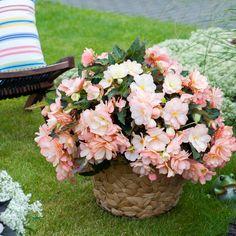 Begonia I'Conia Miss Montreal Dümmen  Orange - New for 2018 #gardening #patiogarden #hangingbaskets