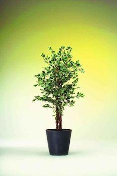 Vásárlás: EUROPALMS Ezüst Fikusz cserepes 1008 levéllel 180cm 82506116 Művirág árak összehasonlítása, EUROPALMS Ezüst Fikusz cserepes 1008 levéllel 180 cm 82506116 boltok Plants, Plant, Planets