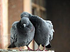 Wood Pigeon, Racing Pigeons, Getting Drunk, Top Photo, New Zealand, Bird, Animals, Animales, Animaux