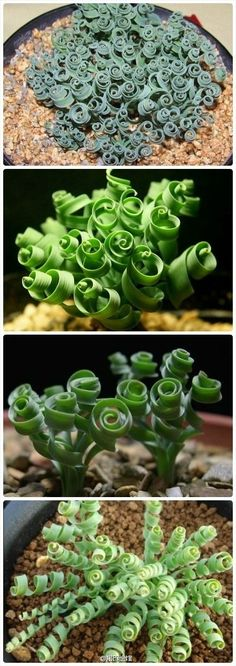 "Plant love - curly succulent.... Moraea Tortilis - common name ""Spiral grass"""
