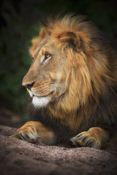 Photograph Lion of Motswari by Mario Moreno on 500px