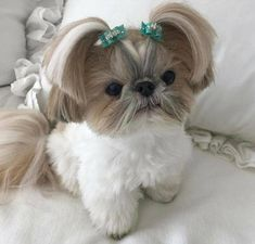 Super Dogs And Puppies Breeds Shih Tzu Pets Ideas Shih Tzu Hund, Perro Shih Tzu, Baby Shih Tzu, Shih Tzu Puppy, Shih Tzus, Shitzu Puppies, Teacup Puppies, Dogs And Puppies, Doggies