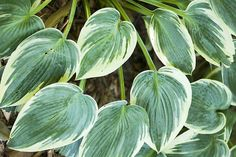 Did You Know That Hosta Plants Can Add a Variety of Colors for Your Landscaping?