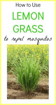 I need to plant some of this around my deck!  How to Use Lemon Grass To Repel Mosquitos by Shannon Berg