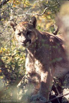 Mountain Lion (Puma concolor), Animas Mountains, New Mexico - Glenn McCrea Photography www.glennmccrea.com