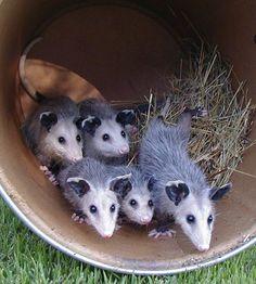 Skye's Spirit Wildlife Rehabilitation Center : opossum don't suckle, they… Beautiful Creatures, Animals Beautiful, Baby Opossum, Cubs Wallpaper, Cute Baby Animals, Animal Babies, Fur Babies, Animal Photography, Pet Birds