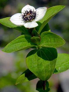 Ruohokanukka (Cornus suecica) Buy Plants, Garden Plants, Black Flowers, Wild Flowers, Horticulture, Woodland Plants, Edible Wild Plants, Forest Flowers, White Plants