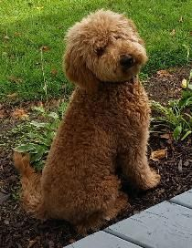 Home Raised Bernedoodle Goldendoodle And Sheepadoodle Puppies In