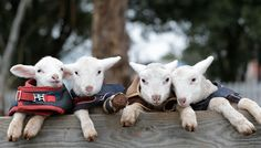 Popeye, Olive Oyl, Brutus and Swee'Pea Lambs safe in sanctuary at Edgar's Mission