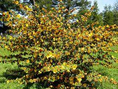 Fremontodendron californica ssp. californica