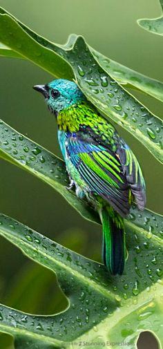 Green-headed Tanager, Tangara seledon: taken in the Botanic Garden, Rio de Janeiro. By Hugo Viana