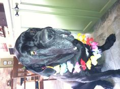 Sarge, our Neo Mastiff, a rescue.  Giants and senior dogs need homes too.