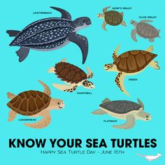 Happy Sea Turtle Day and to celebrate we though you should KNOW YOUR SEA TURTLES! There are seven sea turtles ranging from the largest Leatherback to the. Turtle Day, Turtle Time, Turtle Book, Olive Ridley, Tortoise Turtle, Marine Biology, Animal Facts, Ocean Creatures, Tortoises