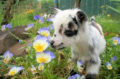 Someday...Nigerian Dwarf Goat.