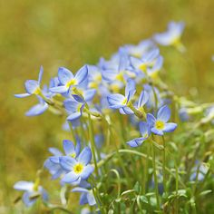 "these are ""bluets"" I remember picking them when a child and thru highschool,wrote a poem about them and schoolmate..."