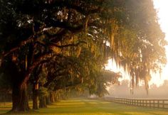 Live Oaks & Spanish Moss at Boone Hall