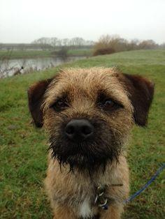 My favourite little Border Terrier :-) Best Dog Breeds, Best Dogs, Border Terrier Puppy, Patterdale Terrier, Cute Borders, Brown Dog, Little Dogs, Dog Photos, Four Legged