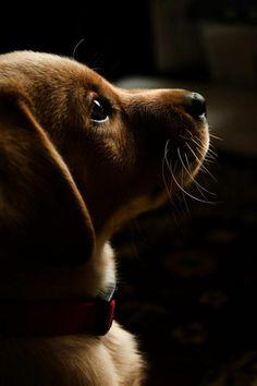 la beaute du Teckel , race de chien taille moyen