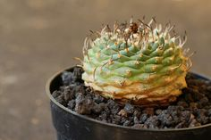 Turbinicarpus schwartzii