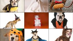 Photos: Top 10 pet costumes Pets won't be left behind when it comes to dressing up for Halloween. Ten percent of pet lovers will dress their animal in a pumpkin costume, while 7 percent will dress their cat or dog as a hot dog and 4 percent as a dog, lion or pirate. Close. 1 of ... #thebestinpetaccessories , #thebestinanimalaccessories , #thebestpetcarriers , #thebestdogcrates , #dogs , #doghealth ,#dogtravel , http://readr.me/udjn8